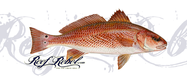 Reef rebel vehicle graphics for Red fish pictures